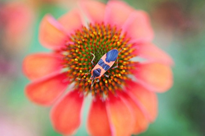 Bug on Echinacea